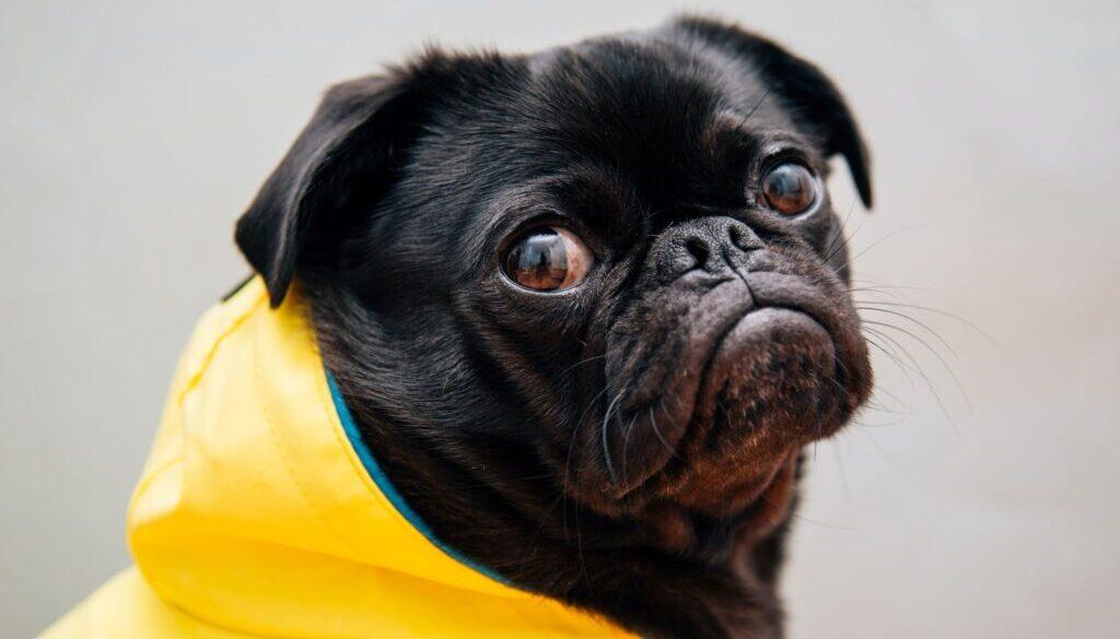 black pug in a yellow raincoat with an unhappy look on its face