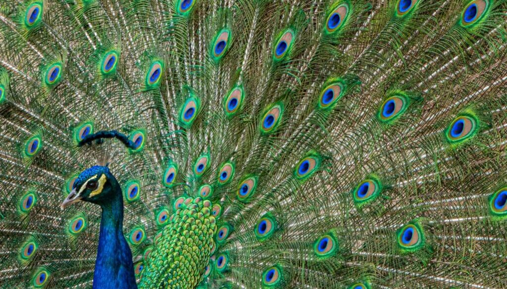 peacock with tail feathers unfurled