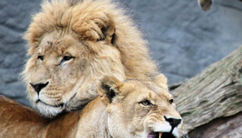 Daniel must have faced lions like these when he was thrown into the lion's den