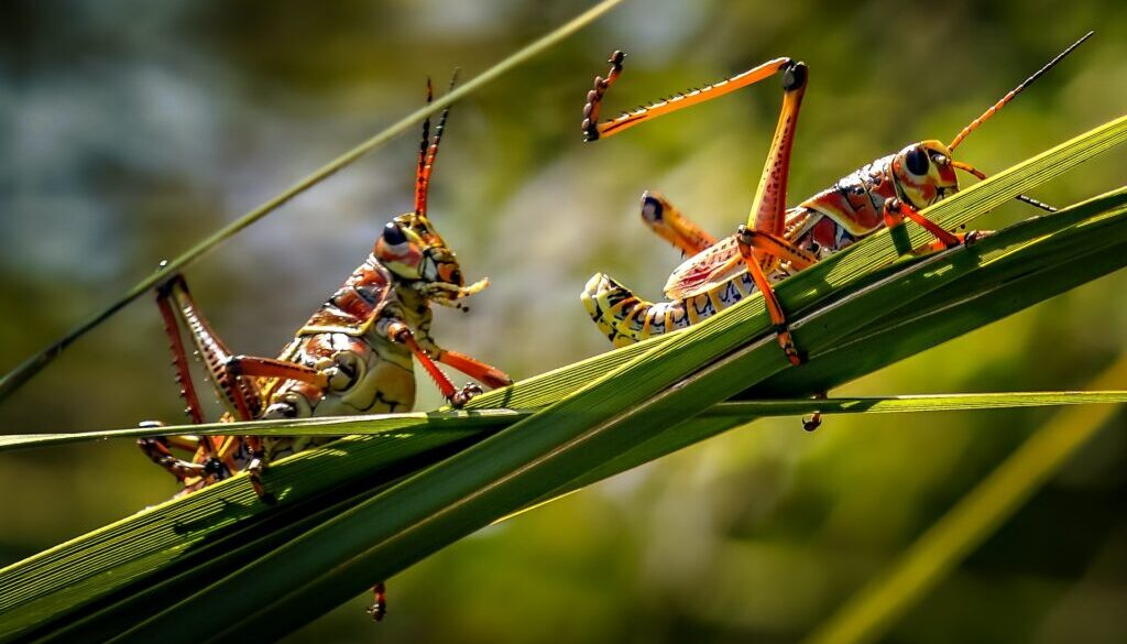 two locusts on a stalk of grass