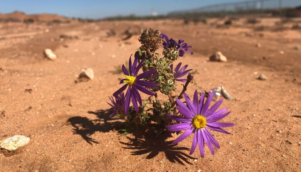 purple flower growing in the middle of a desert