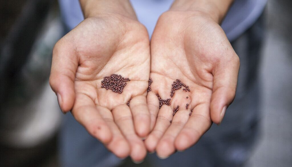 close up of a man's hands holding seeds